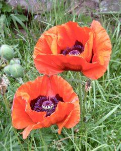 polish poppy